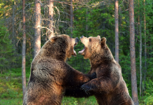 Two bears fighting