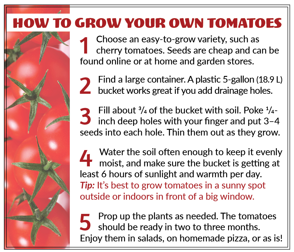 How to grow your own tomatoes 1 Choose an easy-to-grow variety, such as cherry tomatoes. Seeds are cheap and can be found online or at home and garden stores. 2 Find a large container. A plastic 5-gallon (18.9 L) bucket works great if you add drainage holes. 3 Fill about ¾ of the bucket with soil. Poke ¼-inch-deep holes with your finger and put 3–4 seeds into each hole. Thin them out as they grow. 4 Water the soil often enough to keep it evenly moist, and make sure the bucket is getting at least 6 hours of sunlight and warmth per day. Tip: It's best to grow tomatoes in a sunny spot outside or indoors in front of a big window. 5 Prop up the plants as needed. The tomatoes should be ready in two to three months. Enjoy them in salads, on homemade pizza, or as is!