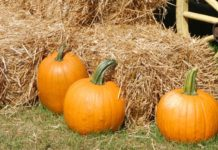 Pumpkins on hay bails