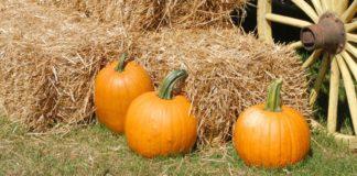 Pumpkins on hay bails