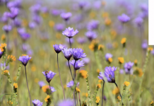 field of purple and yellow flowers