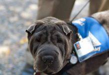 Bosley Dog