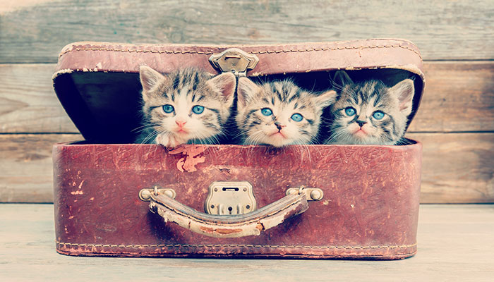 3 kittens in a suitcase