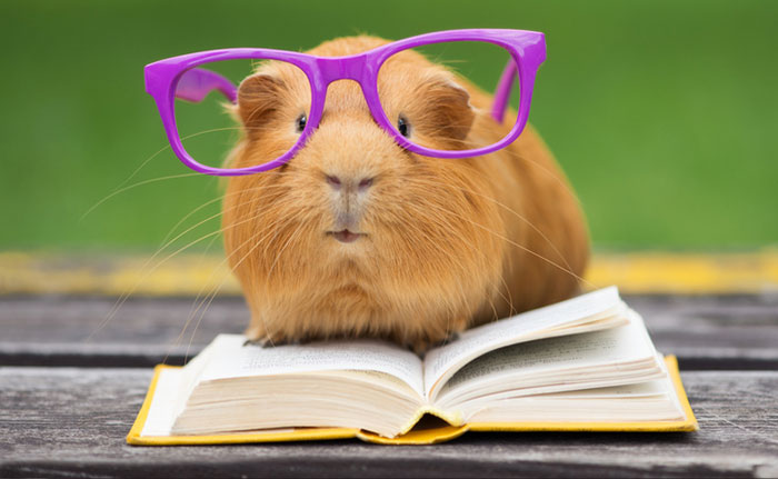Guinea pig with glasses on and reading a book