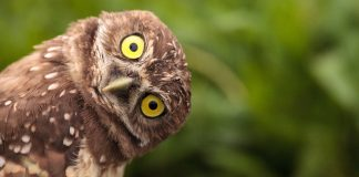 Wide-eyed owl