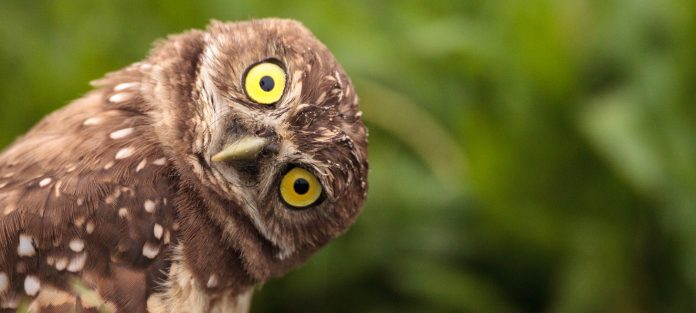 Wide-eyed owl