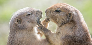 Two gophers