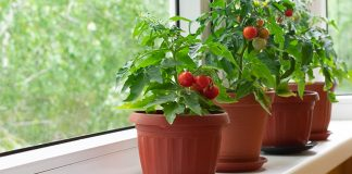 potted tomatoe plants on window sill | how to grow tomatoes indoors