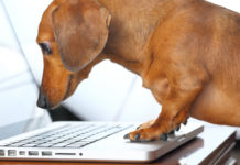 small dog staring into laptop