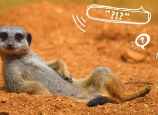 cool meerkat