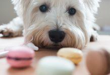dog looking at cookies