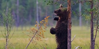 bear scratching back on tree