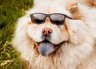 Happy dog with sunglasses