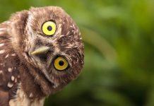 curious owl